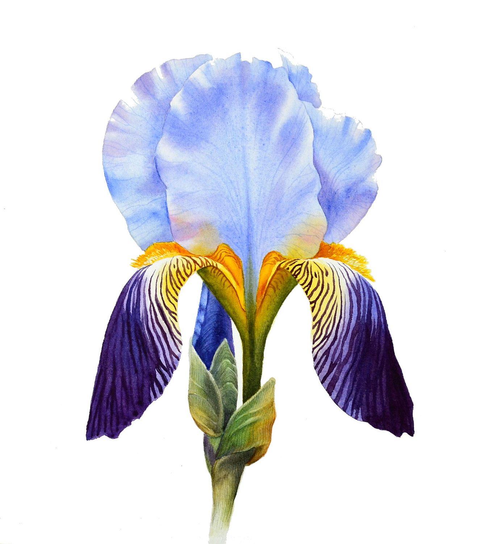 Рисунки ирисы фото цветов